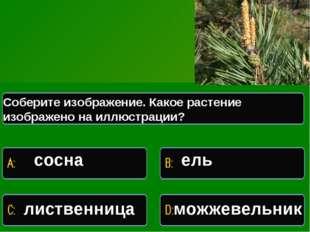 Какое растение изображено на иллюстрации Соберите изображение. Какое растение