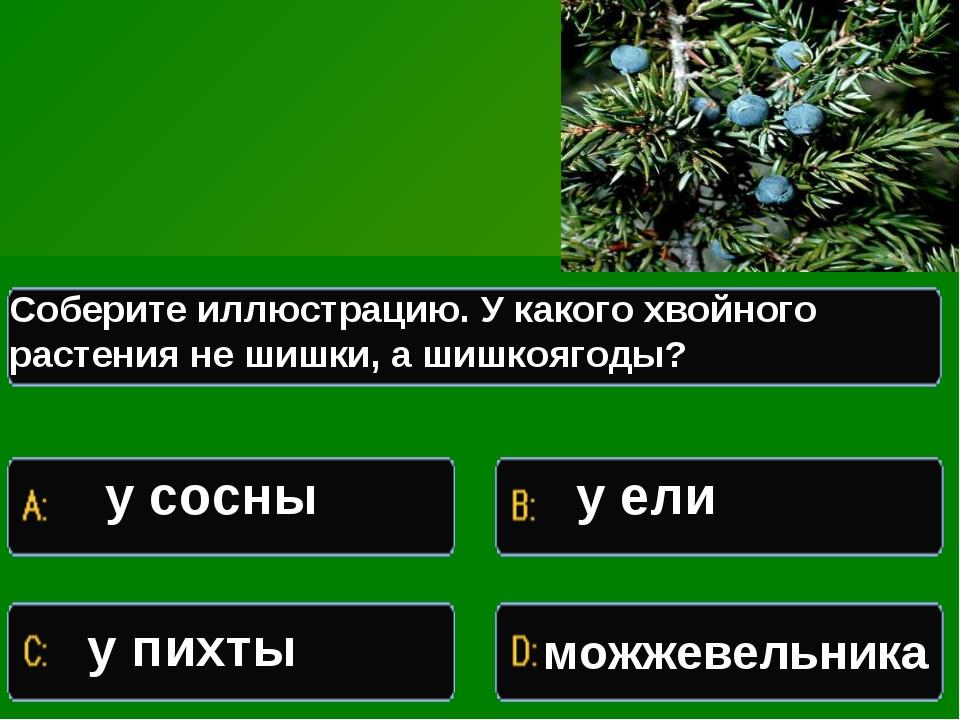 Какое растение изображено на иллюстрации Соберите иллюстрацию. У какого хвойн...