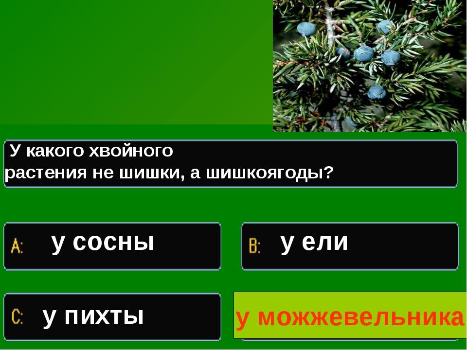 Какое растение изображено на иллюстрации У какого хвойного растения не шишки,...
