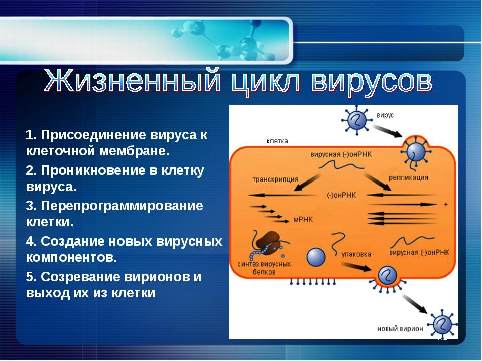 1. Присоединение вируса к клеточной мембране. 2. Проникновение в клетку вирус...
