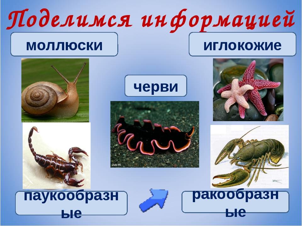 Поделимся информацией черви иглокожие моллюски паукообразные ракообразные