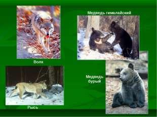 Рысь Волк Медведь бурый Медведь гималайский