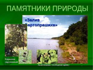 «Залив Вертопрашиха» Кирказон скрученный Акантопанакс (свободноягодник)