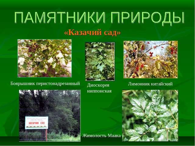 «Казачий сад» Боярышник перистонадрезанный Жимолость Маака Диоскорея ниппонск...