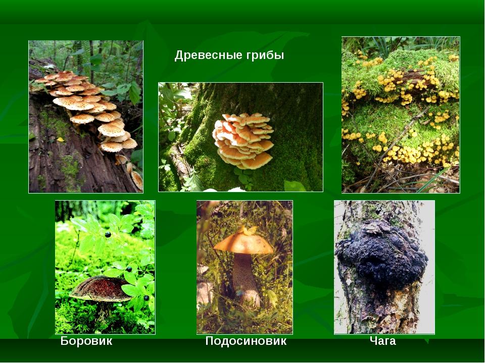 Древесные грибы Боровик Подосиновик Чага