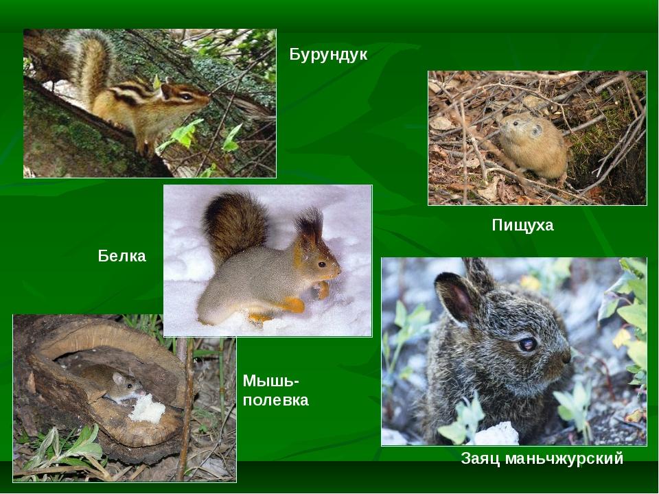 Заяц маньчжурский Белка Пищуха Бурундук Мышь-полевка