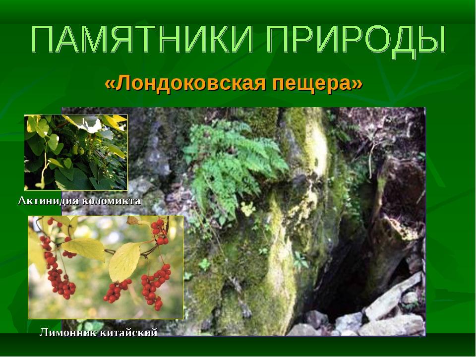 «Лондоковская пещера» Актинидия коломикта Лимонник китайский