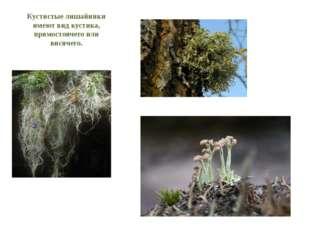 Кустистые лишайники имеют вид кустика, прямостоячего или висячего. Уснея