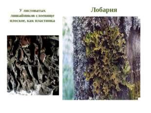 У листоватых лишайников слоевище плоское, как пластинка Лобария Коллема