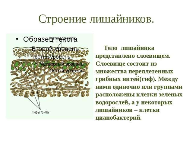 Строение лишайников. Тело лишайника представлено слоевищем. Слоевище состоит...
