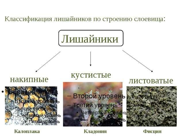 Классификация лишайников по строению слоевища: Лишайники накипные листоватые...