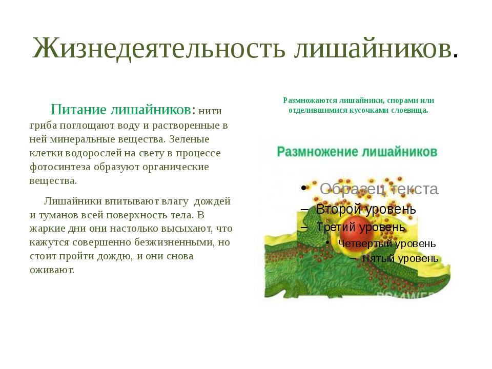 Жизнедеятельность лишайников. Питание лишайников: нити гриба поглощают воду и...