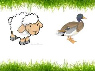 a sheep a duck