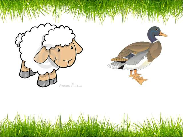 a sheep a duck