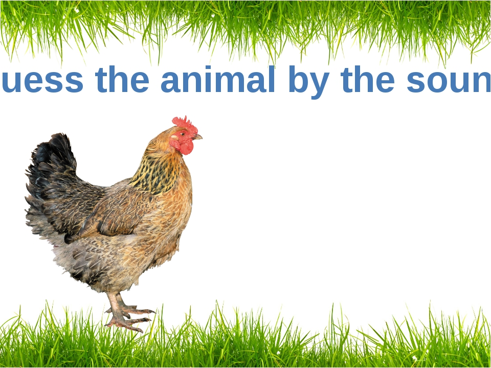 Guess the animal by the sound A hen