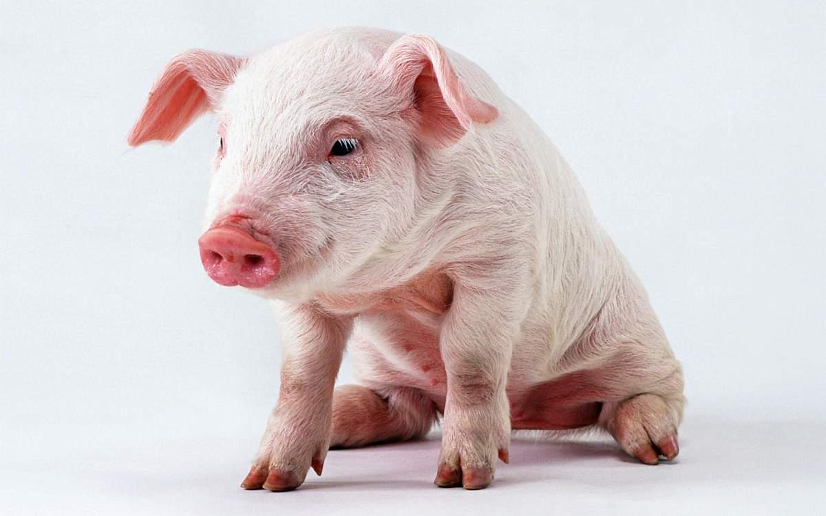 C:\Users\Pivcova\Desktop\распечатка\животные\pig.jpg