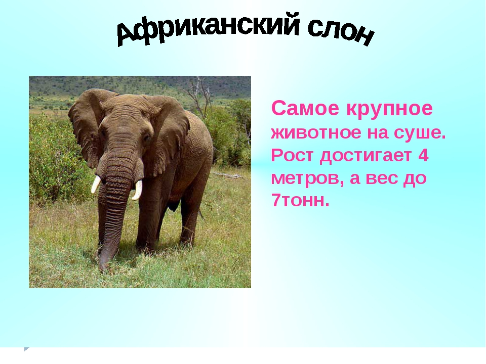 Самое крупное животное на суше. Рост достигает 4 метров, а вес до 7тонн.