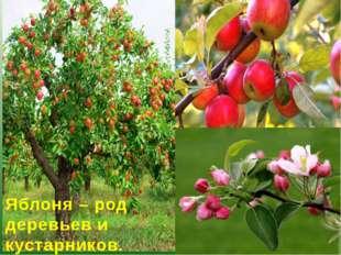 Яблоня – род деревьев и кустарников. Существует 25-30 видов яблони.