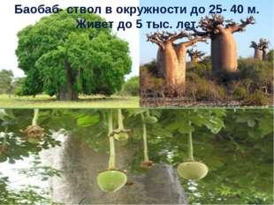 Баобаб- ствол в окружности до 25- 40 м. Живет до 5 тыс. лет.