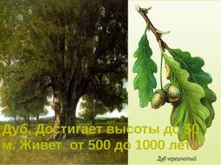Дуб. Достигает высоты до 50 м. Живет от 500 до 1000 лет.