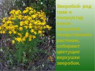 Зверобой- род трав и полукустар ников. Зверобой – лекарственное растение, соб