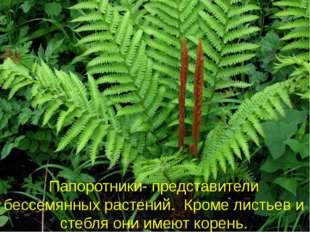 Папоротники- представители бессемянных растений. Кроме листьев и стебля они