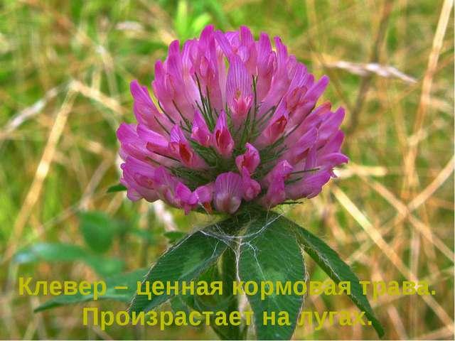 Клевер – ценная кормовая трава. Произрастает на лугах.