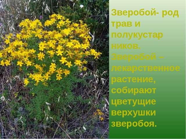 Зверобой- род трав и полукустар ников. Зверобой – лекарственное растение, соб...