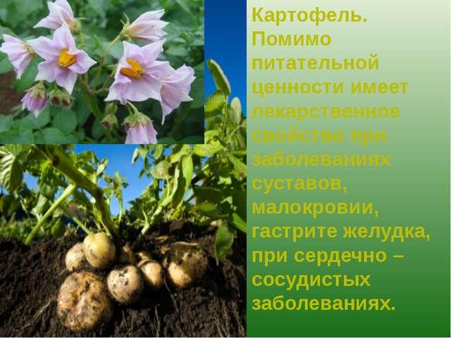 Картофель. Помимо питательной ценности имеет лекарственное свойство при забол...