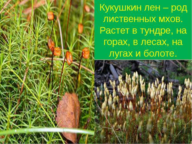 Кукущкин лен Кукушкин лен – род лиственных мхов. Растет в тундре, на горах, в...