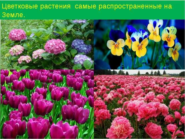 Цветковые растения самые распространенные на Земле.