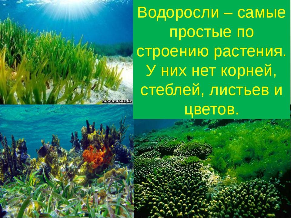 Водоросли – самые простые по строению растения. У них нет корней, стеблей, ли...