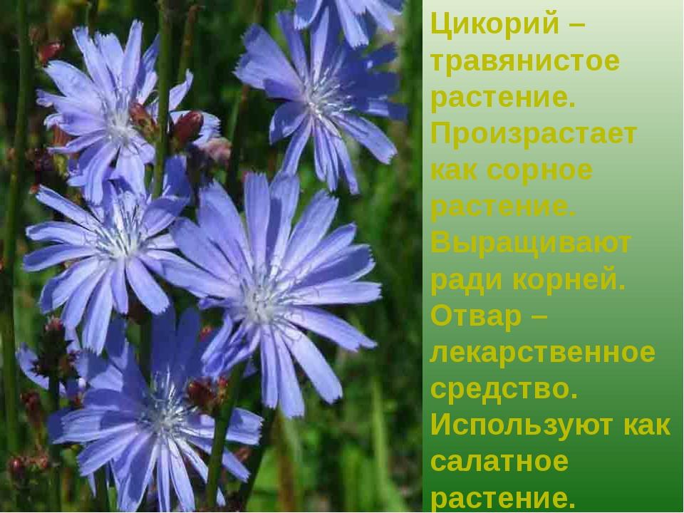 Цикорий – травянистое растение. Произрастает как сорное растение. Выращивают...