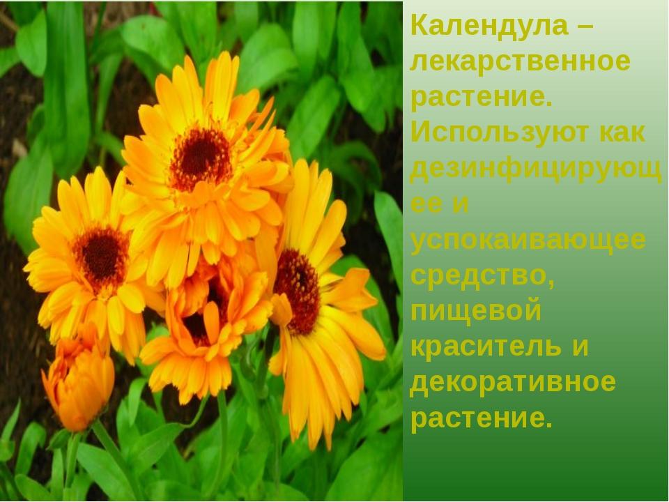 Календула – лекарственное растение. Используют как дезинфицирующее и успокаив...