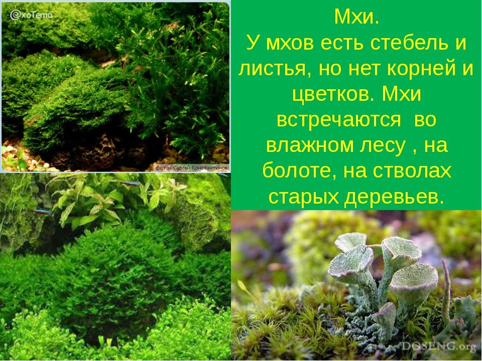 Мхи. У мхов есть стебель и листья, но нет корней и цветков. Мхи встречаются в...