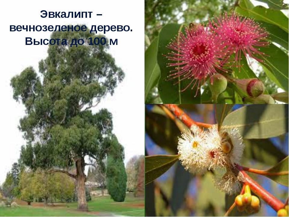 Эвкалипт – вечнозеленое дерево. Высота до 100 м