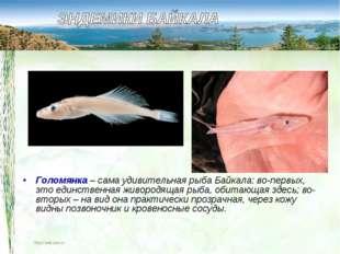 Голомянка – сама удивительная рыба Байкала: во-первых, это единственная живор