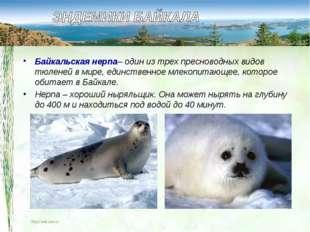 Байкальская нерпа– один из трех пресноводных видов тюленей в мире, единственн