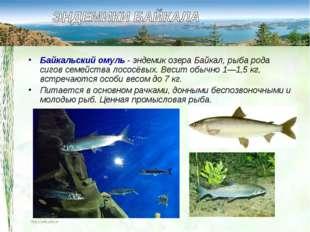 Байкальский омуль- эндемик озера Байкал, рыба рода сигов семейства лососёвых