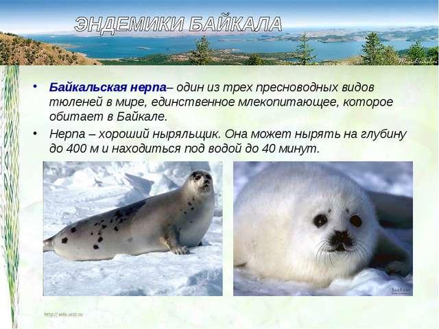 Байкальская нерпа– один из трех пресноводных видов тюленей в мире, единственн...
