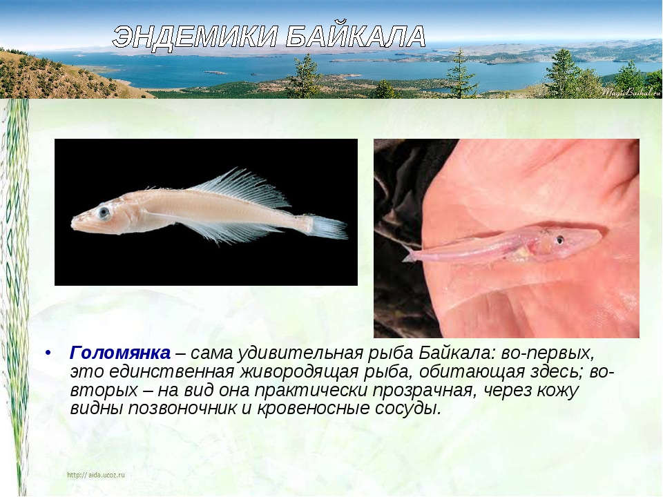 Голомянка – сама удивительная рыба Байкала: во-первых, это единственная живор...
