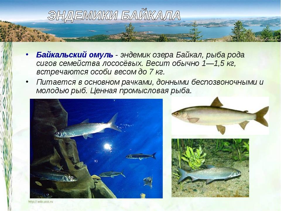 Байкальский омуль- эндемик озера Байкал, рыба рода сигов семейства лососёвых...