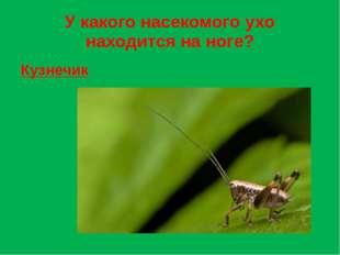 У какого насекомого ухо находится на ноге? Кузнечик