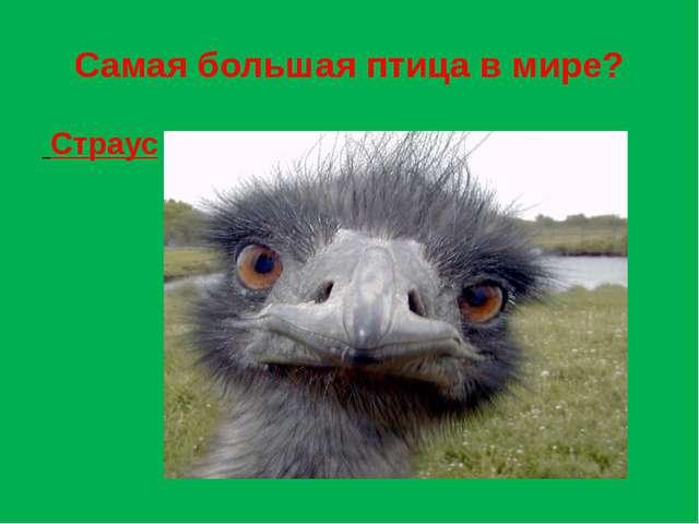 Самая большая птица в мире? Страус