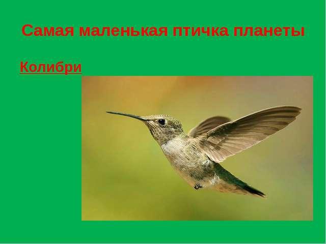 Самая маленькая птичка планеты Колибри