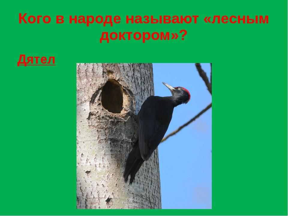 Кого в народе называют «лесным доктором»? Дятел