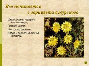 Все начинается с горицвета амурского Цветок весны, идущий к нам по снегу -,