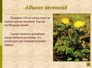 Адонис весенний Примерно 150 лет назад люди не любили адонис весенний. Еще