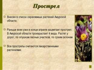 Прострел Внесен в список охраняемых растений Амурской области. Раньше всех уж