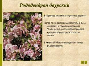 Рододендрон даурский В переводе с латинского «розовое дерево». Когда-то это р